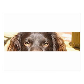 boykin spaniel eyes postcard