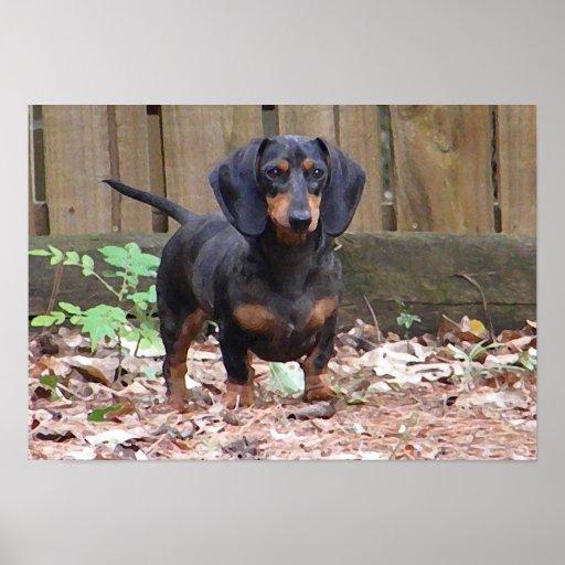 BR- Cute Dachshund Puppy Poster