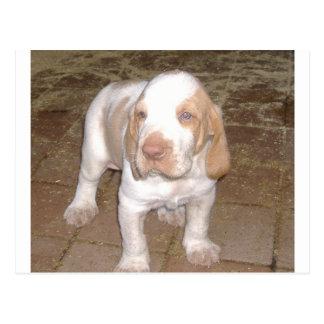 bracco-italiano puppy.png postcard
