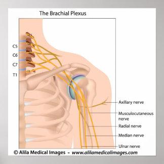 Brachial plexus, labeled drawing. poster