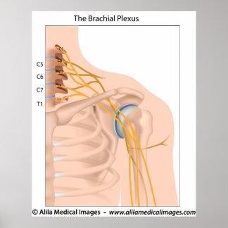 Brachial plexus, medical drawing. poster