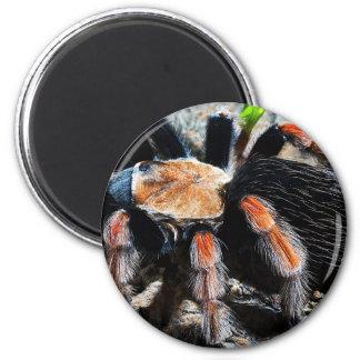 Brachypelma boehmei 2 inch round magnet