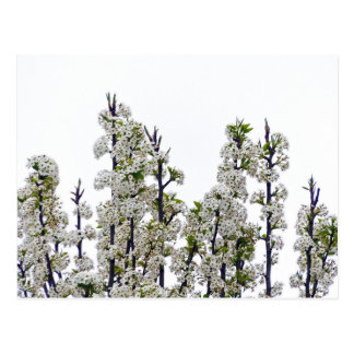Bradford Pear Blossoms Postcard