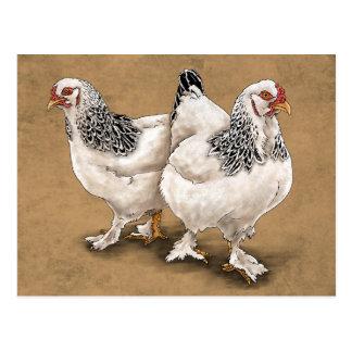 Brahma Chicken Hens Postcard