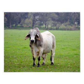 Brahman (aka. Brahma) Bull en campo Fotografía
