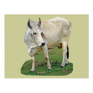 Brahman Cattle Postcard
