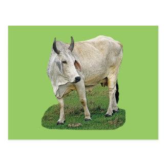 Brahman Cow Postcard