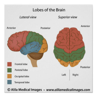 Brain lobes, labeled diagram. poster