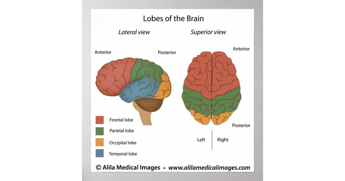 Brain Lobes  Labeled Diagram  Poster