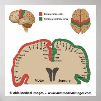 Brain map, medical drawing. poster