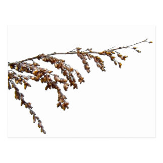 Branch With Seed Pods Postcard