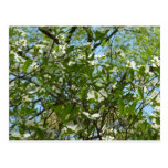 Branches of Dogwood Blossoms Spring Trees Postcard