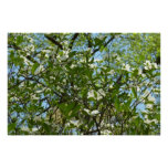 Branches of Dogwood Blossoms Spring Trees Poster