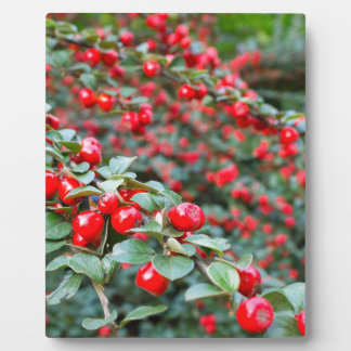 Branches with ripe red cotoneaster berries plaque