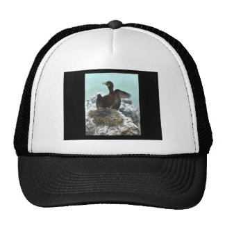 Brandt's Cormorant nest Hat