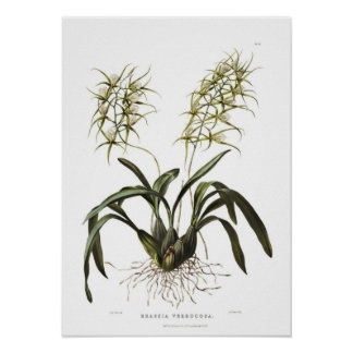 Brassia verrucosa by Miss Drake. Poster