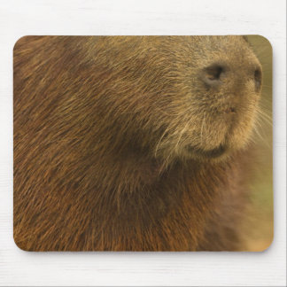Brazil, Pantanal, Matto Grosso. Capybara Mouse Pad