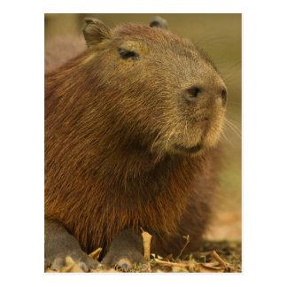 Brazil, Pantanal, Matto Grosso. Capybara Postcard
