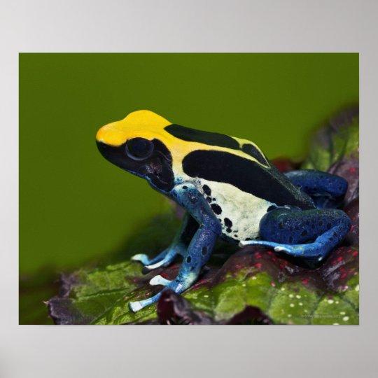 Brazilian Cobalt Dart Frog, Dendrobates Poster