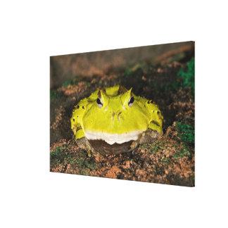 Brazilian Horn Frog, Ceratophrys cornuta, 2 Canvas Print