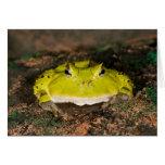 Brazilian Horn Frog, Ceratophrys cornuta, 2 Greeting Card