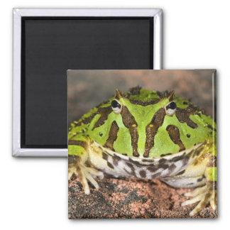 Brazilian Horn Frog, Ceratophrys cornuta, 2 Inch Square Magnet
