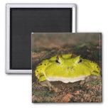 Brazilian Horn Frog, Ceratophrys cornuta, 2 Fridge Magnets