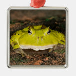Brazilian Horn Frog, Ceratophrys cornuta, 2 Ornament