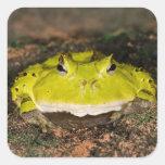 Brazilian Horn Frog, Ceratophrys cornuta, 2 Stickers