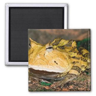 Brazilian Horn Frog, Ceratophrys cornuta, 3 Magnet