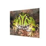 Brazilian Horn Frog, Ceratophrys cornuta, Canvas Print