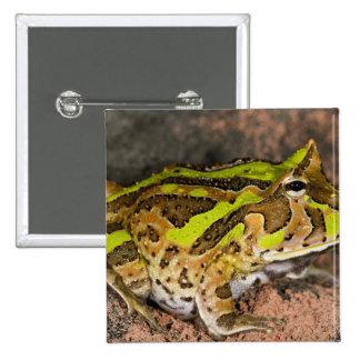 Brazilian Horn Frog, Ceratophrys cornuta, Native Button