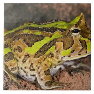 Brazilian Horn Frog, Ceratophrys cornuta, Native Tile