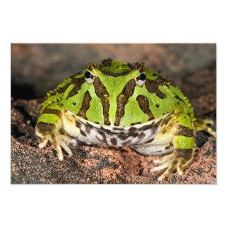 Brazilian Horn Frog, Ceratophrys cornuta, Photo Print