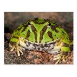 Brazilian Horn Frog, Ceratophrys cornuta, Postcard