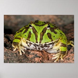 Brazilian Horn Frog, Ceratophrys cornuta, Poster