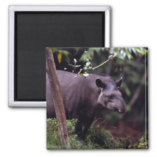 Brazilian Tapir (Tapirus terrestris) 2 Inch Square Magnet