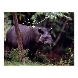 Brazilian Tapir Tapirus terrestris Postcard
