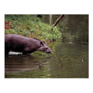 Brazilian Tapir (Tapirus terrestris) Postcard