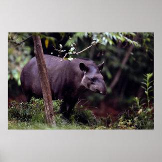 Brazilian Tapir (Tapirus terrestris) Poster