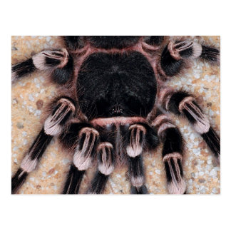 Brazilian White Knee Tarantula Postcard