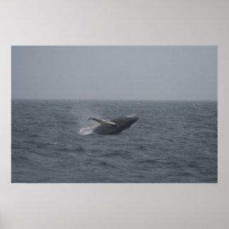 Breaching Humpback Calf Poster