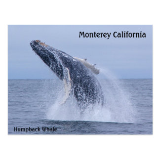 Breaching Humpback Whale Calf  Postcard