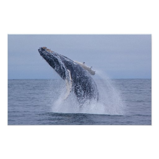 Breaching Humpback Whale Calf  Print