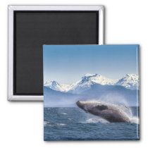 Breaching Humpback Whale In Alaska Magnet