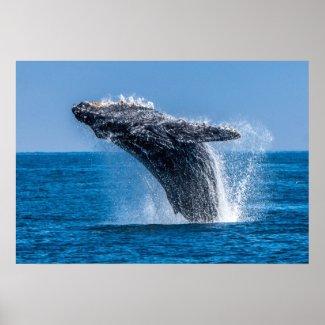 Breaching Humpback Whale Print