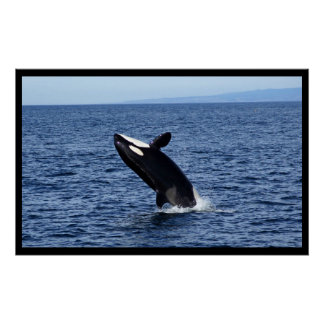 Breaching Orca (Killer Whale) Poster