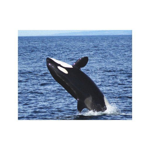 Breaching Orca (Killer Whale) Wrapped Canvas Print