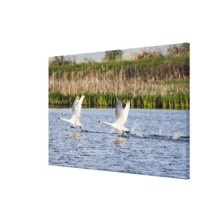 Breeding pair of tundra swans takeoff for canvas print
