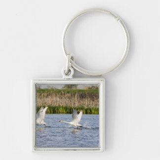 Breeding pair of tundra swans takeoff for keychain
